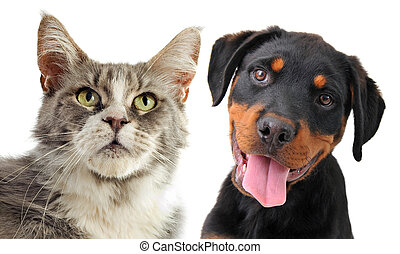 maine coon cat and puppy rottweiler - portrait of a purebred...