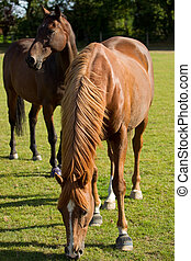 Young Thoroughbred Horse Grazing - A young thoroughbred...