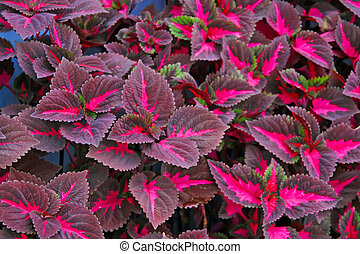 coleus blumei leaves and flowers