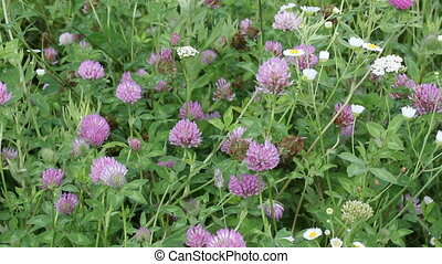 clover wildflowers in the wind