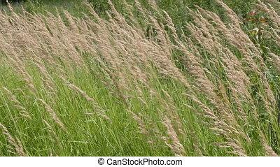 grass in a field in the wind