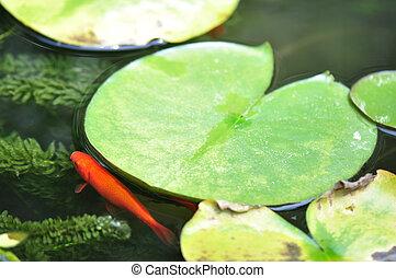 Ornamental Goldfish Pond - Goldfish swimming among lily pads...