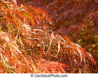 Laceleaf Japanese Maple - Sunlit leaves of weeping laceleaf...