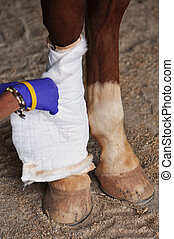 Horse Leg Injury Treatment - A veterinarian wraps a bandage...