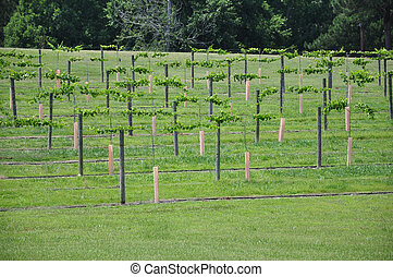 Vineyard Grapes - Rows of cultivated wine grape plants in...