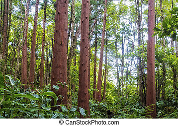 acores; cedar forest on flores - jungle-like forest on...