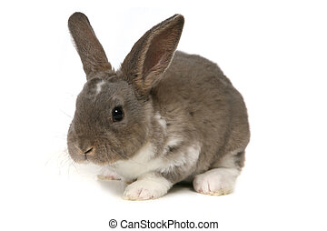 Adorable Bunny on White Background - Grey Easter Rabbit...