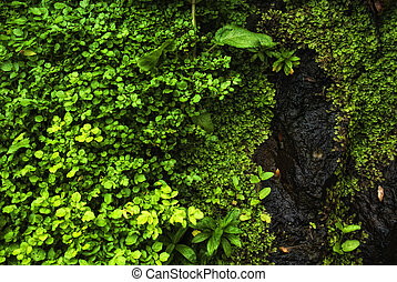 watercress - plants of acores archipelago - water cress...