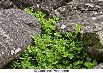 tetragonia - plants of acores archipelago - tetragonia...