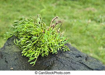 Crithmum maritimum- plants of acores archipelago - (Crithmum...