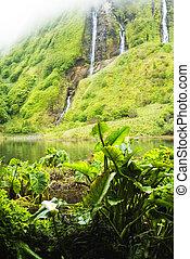 taro Colocasia esculenta - plants of acores archipelago -...