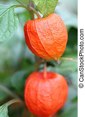 Physalis - details of some ground cherries or physalis in...
