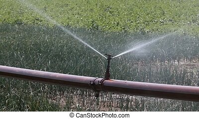 Agriculture - Watering of onion field, closeup of irrigation...