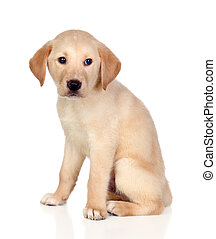 Beautiful Labrador retriever puppy isolated on white...
