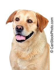 Beautiful Labrador retriever adult