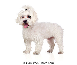 Beautiful white Bichon Maltese isolated on white background