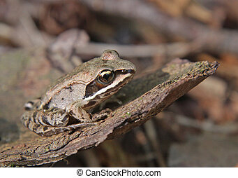 Wood Frog Sitting - A Wood Frog Rana sylvatica on the floor...