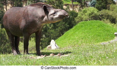 Tapir Browsing Mammal Like a Pig - A pig like mammal, called...