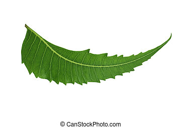 Indian Herbal Medicinal Leaf - Neem isolated on white...