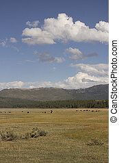 Cattle in a range in the US national Forest
