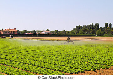 Irrigation field - Green lettuce field with water irrigation...
