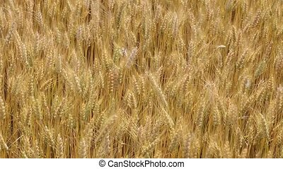 Agriculture - Golden wheat field in summer