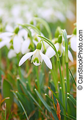 Snowdrop - This image shows a macro from a snowdrop
