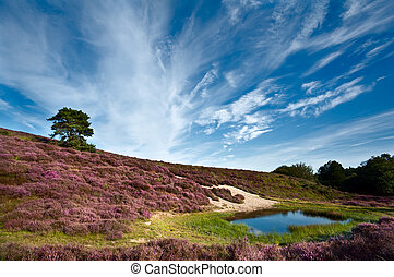 dunes and meadows with flowering Calluna vulgaris - dunes...