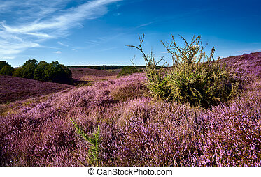 Dutch dunes covered with perennial shrub - Calluna vulgaris...