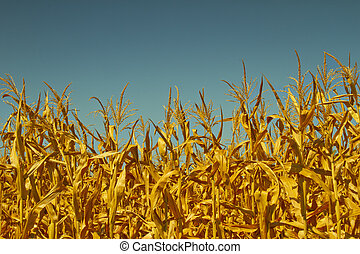 Corn field - Top of plants in a corn field