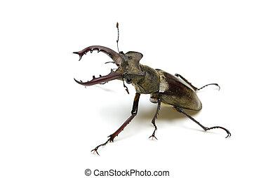 miyama stag beetle - Animal series miyama stag beetle...