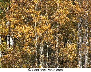 Autumn Aspens - a close up of aspens in brilliant fall...