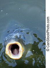 open mouthed fish looking straight at viewer