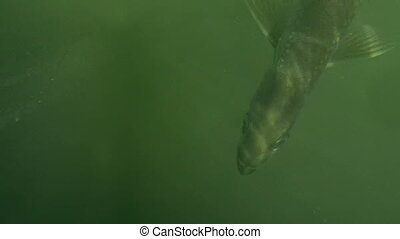 Tarpon Sport Fish Shot R21 - Tarpon Sport Fish under water...