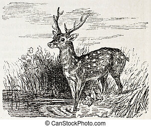Chital old illustration (Axis axis). Created by Gerusez,...