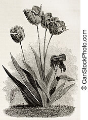Tulips old illustration By unidentified author, published on...