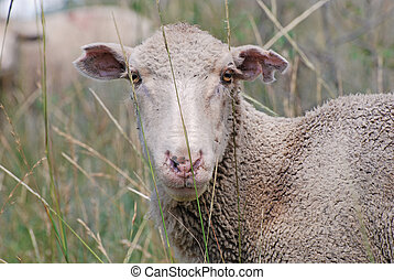 White Faced Sheep - White faced sheep in tall grass.