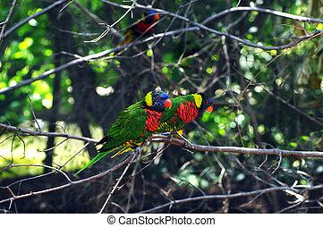 Couple Lorikeets Keep Company - Vivid colored Lorikeets sit...