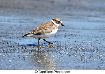 Semipalmated Plover (Charadrius semipalmatus) by the Pacific...