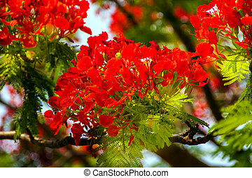 Red Flame Tree Delonix Regia Hong Kong - Bright Red Orange...