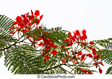 Red Flame Tree Silhouette Delonix Regia Hong Kong - Bright...