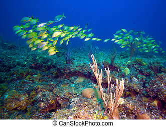 School of five-lined snappers Lutjanus quinquelineatus, Cayo...