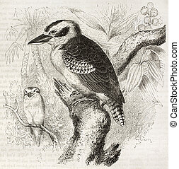 Laughing Kookaburra old illustration (Dacelo novaeguineae)....