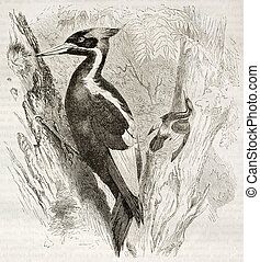 Ivory-billed Woodpecker old illustration Campephilus...