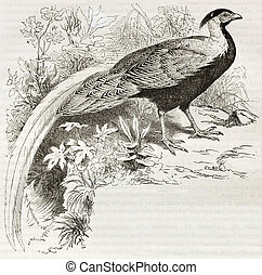 Silver Pheasant old illustration (Lophura Nicthemera)....