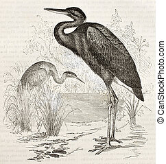 Goliath Heron old illustration (Ardea goliath). Created by...