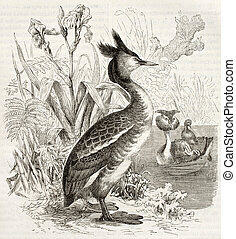 Great Crested Grebe old illustration (Podiceps cristatus)....
