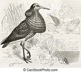 Ruff old illustration (Philomachus pugnax). Created by...