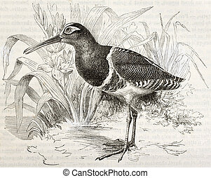 Greater Painted Snipe old illustration (Rostratula...