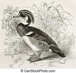 Wood Duck old illustration (Aix sponsa). Created by...